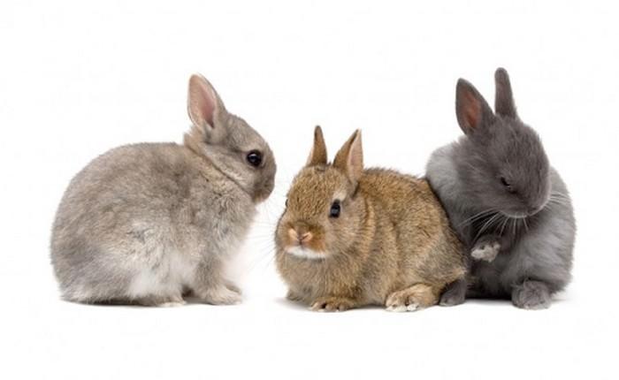 Netherland Dwarf Smallest Rabbit Breeds