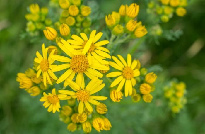 Jacobaea vulgaris beautiful but deadly flowers