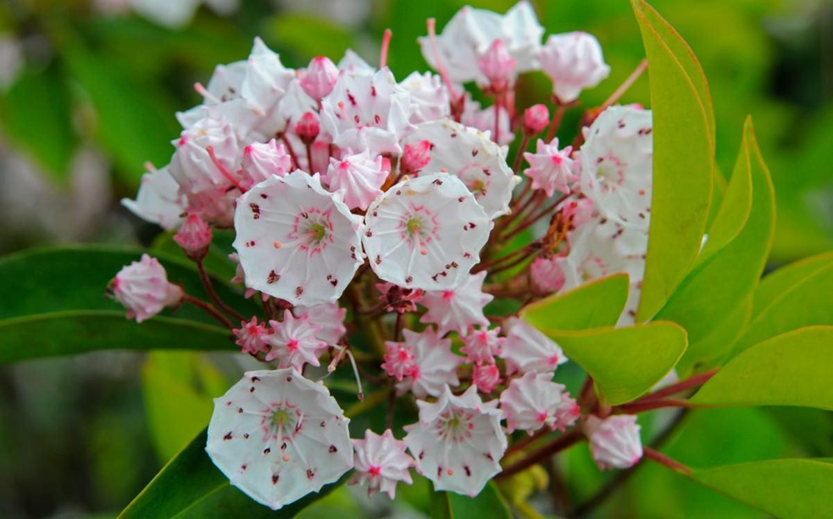 Kalmia latifolia beautiful but deadly flowers
