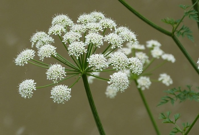Oenanthe crocata beautiful but deadly flowers